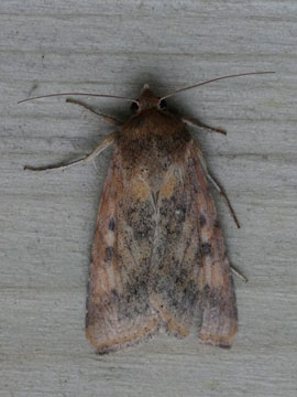 Helicoverpa armigera, Dennis Chanter