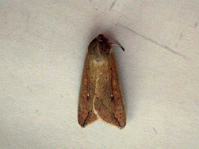 Mythimna unipuncta (Haworth, 1809)