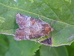 Mesoligia literosa (Haworth, 1809)